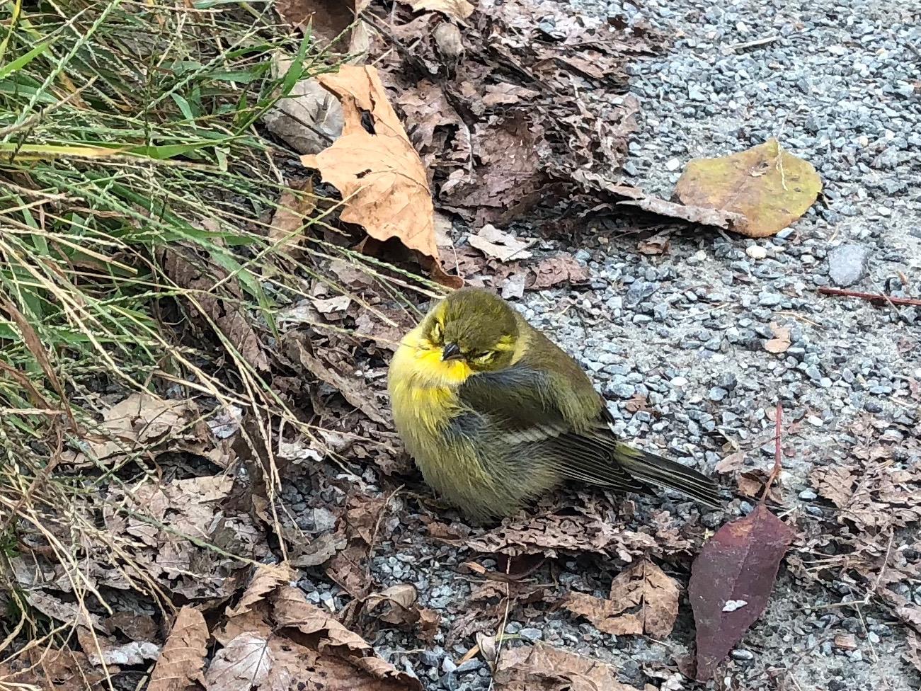 092918-injured-Blackpoll warbler