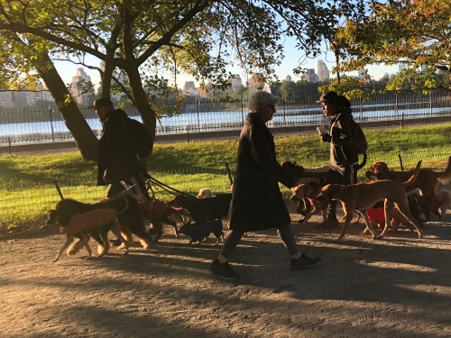 102518-mega-dogwalking-Central-Park