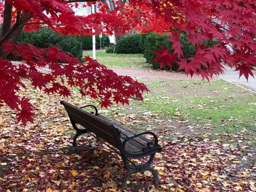 110518-amazing-shade-of-red-on-Japanese-maple