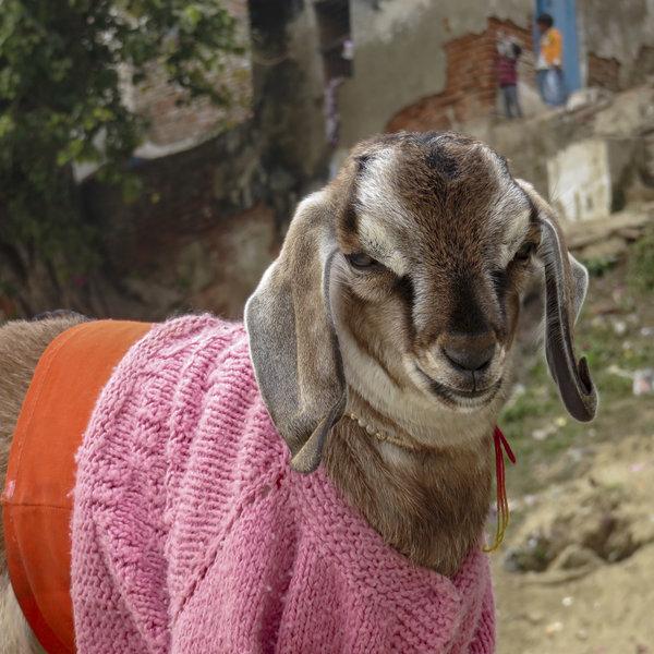 goats05_custom-5a5716255ef5364068168642d7658748751569c4-s600-c85