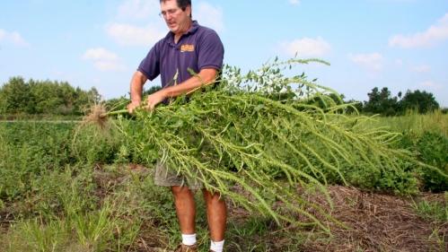 190129-superweeds-herbicide-resistance-pesticides-palmer-amaranth-mark-van-gessel2