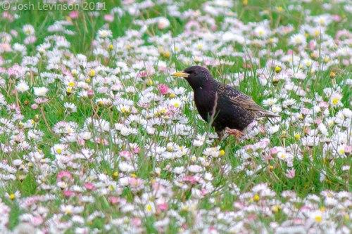 BIRDNOTE_European-Starling-flowers-Josh-Levinson-C2A9
