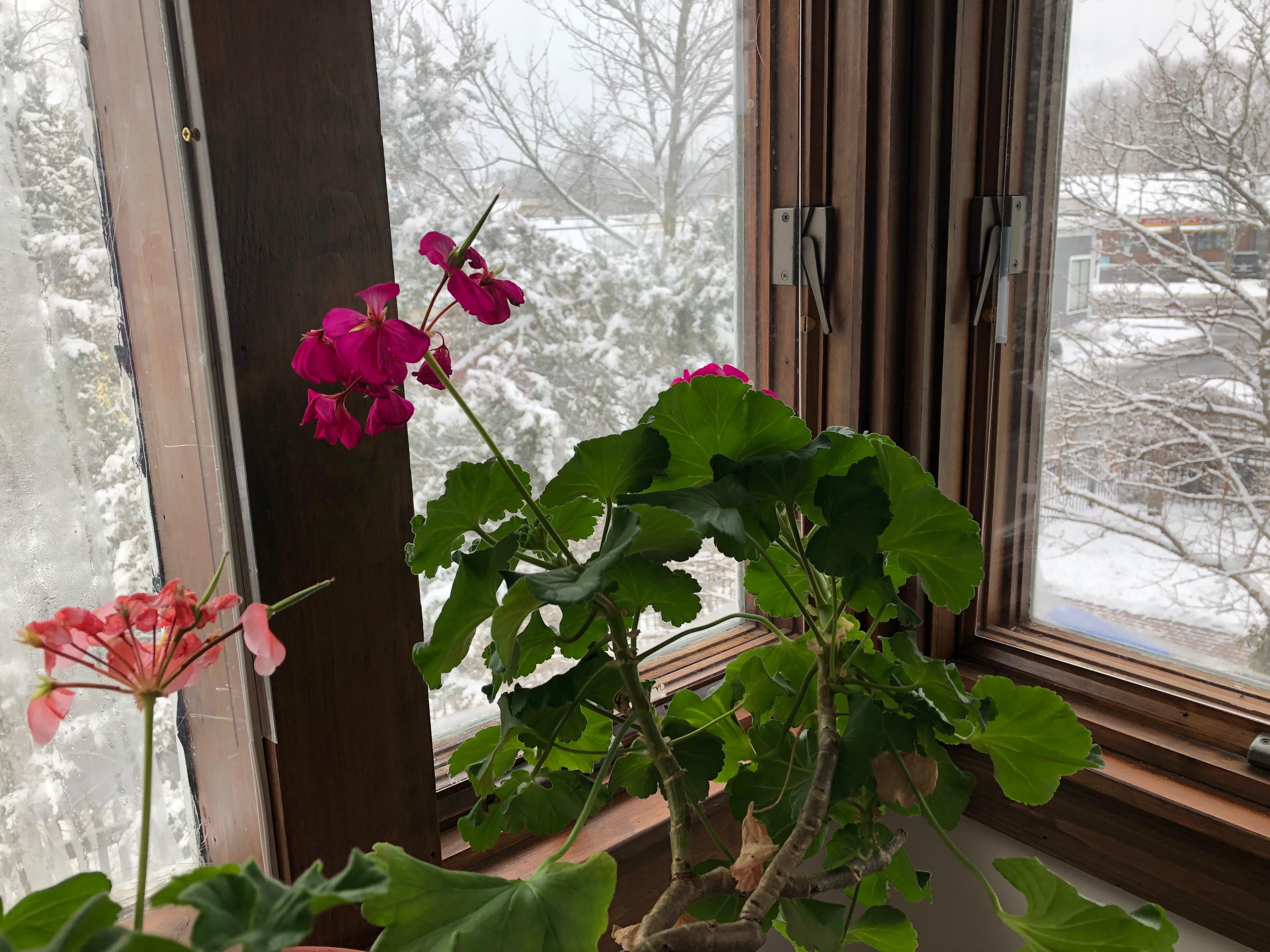 021819-geranium-in-winter