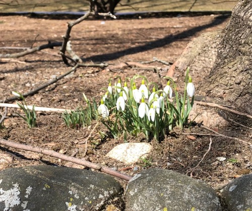032019-snowdrops-on-first-day-of-spring