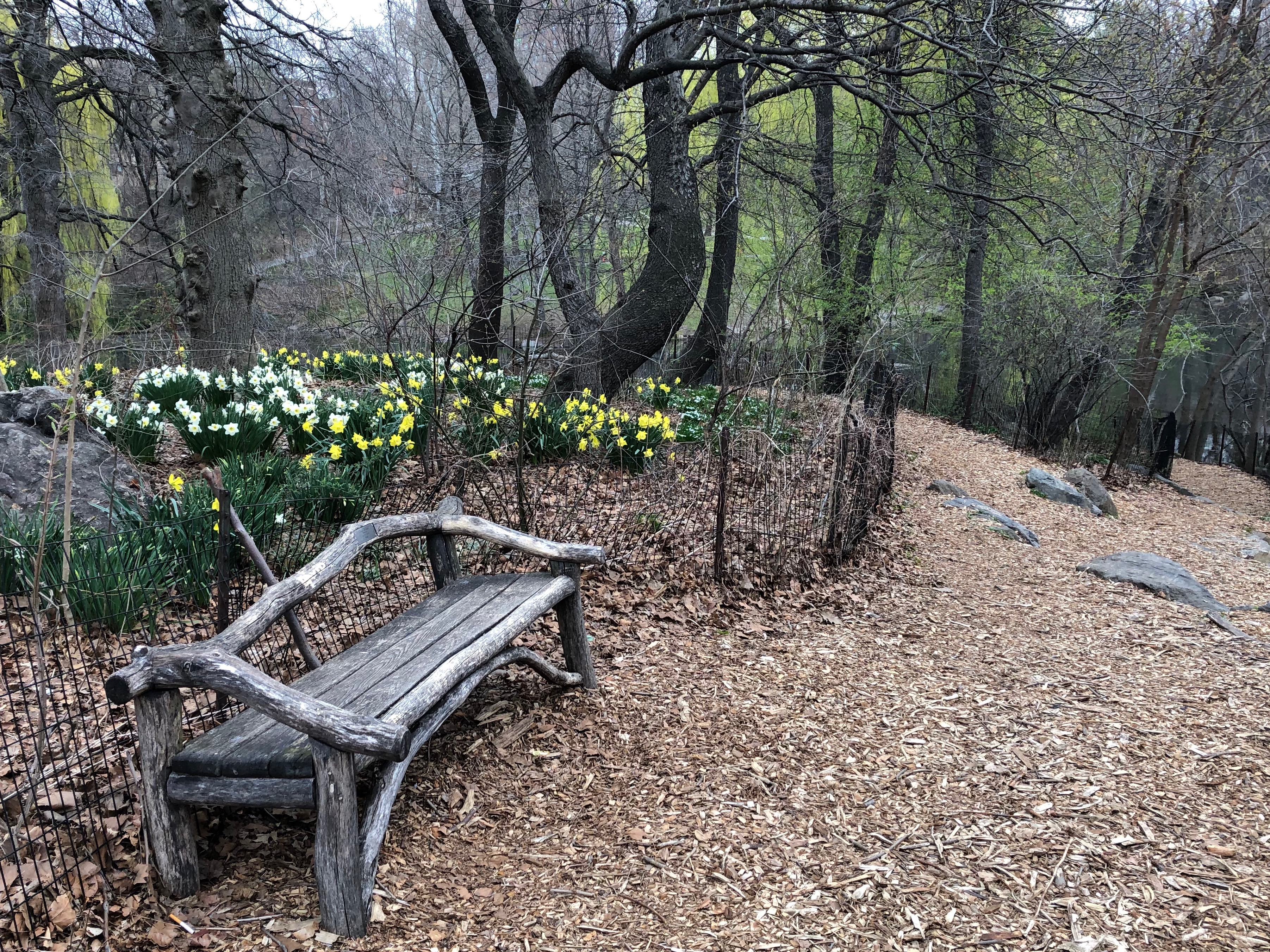 041119-daffodils-and-bench