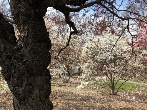 041219-.flowering-trees-Central-Park