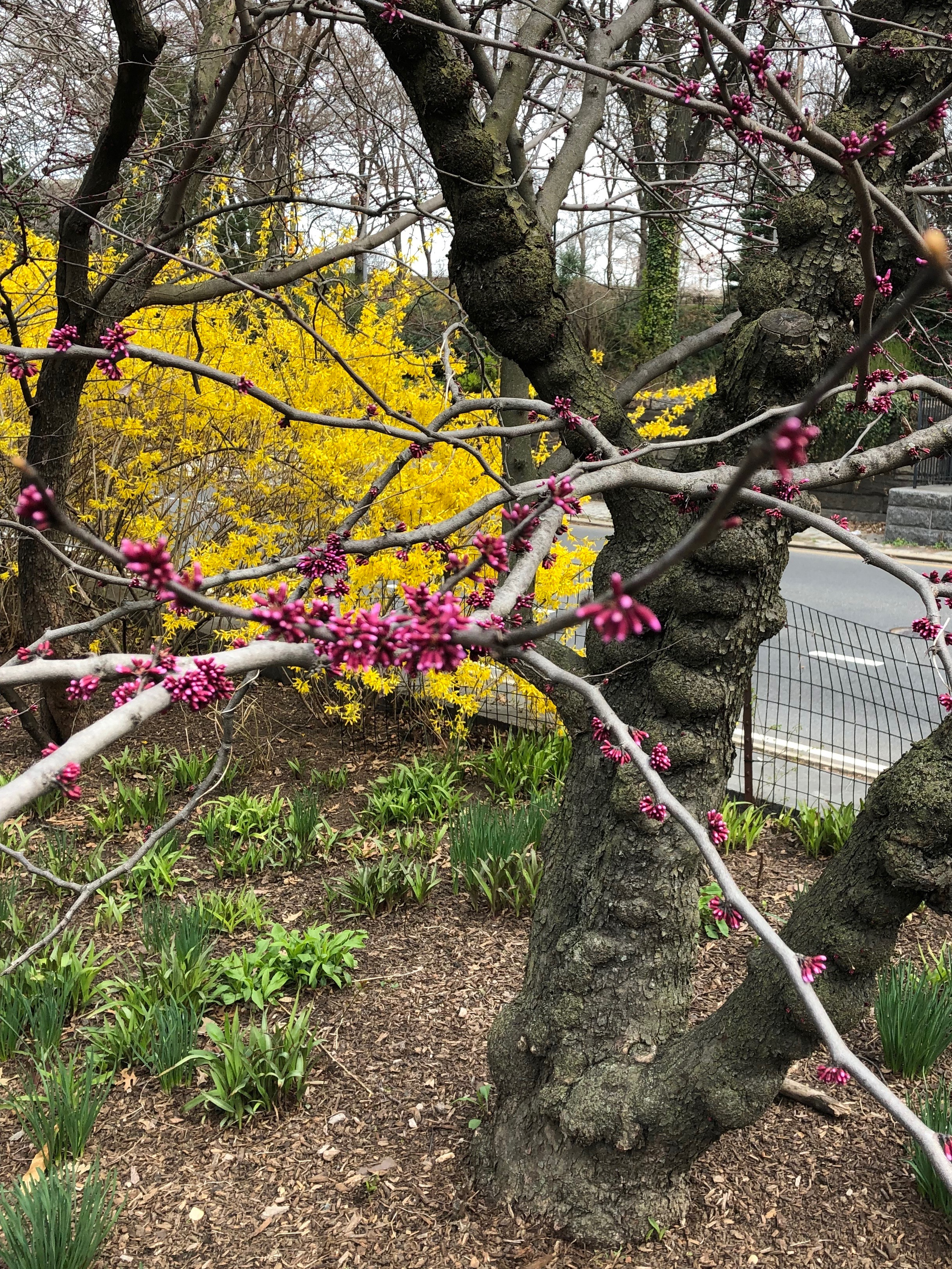 041219-red-bud-and-forsythia