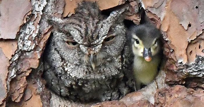 owl-ducking-egg-raises-capture-laurie-wolf-fb8-png__700
