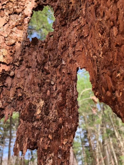 041419-bark-hanging-off tree