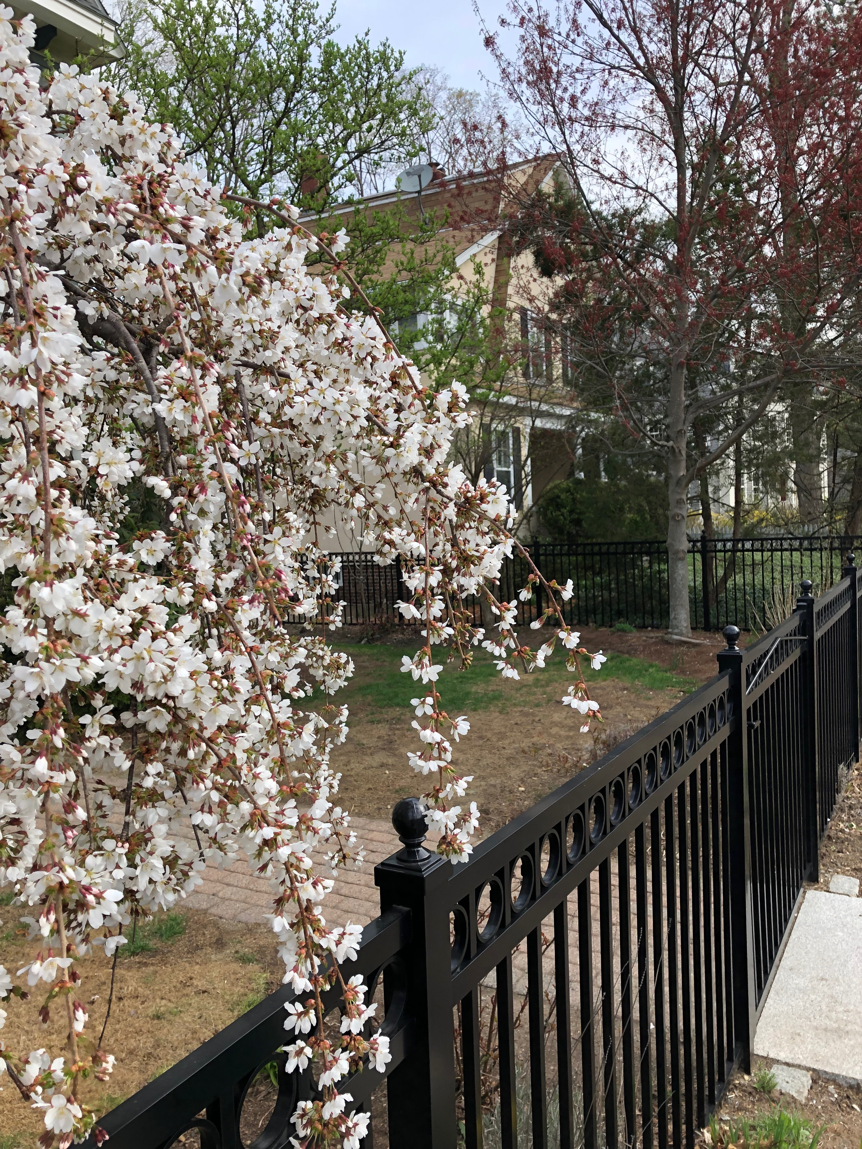 041919-weeping-cherry