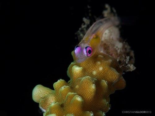 Pinkeye Goby / Bryaninops natans