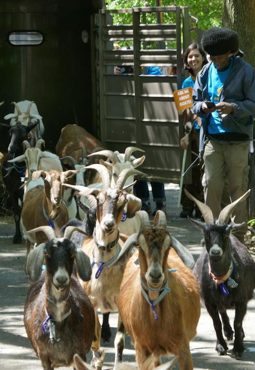 goat-arrival1