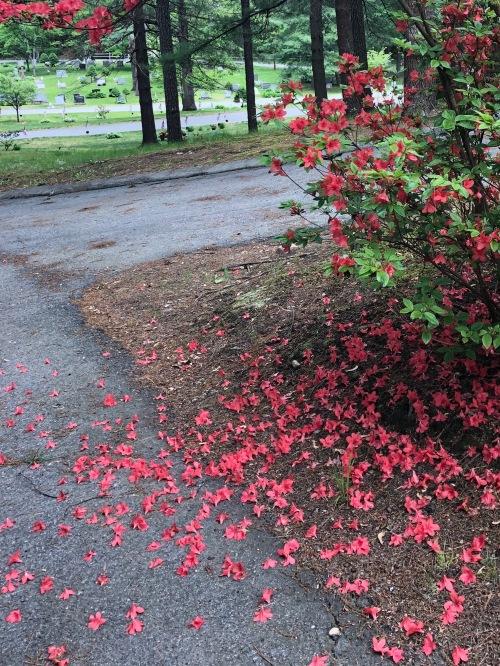 053019-fallen-azalea-petals-in-cemetery
