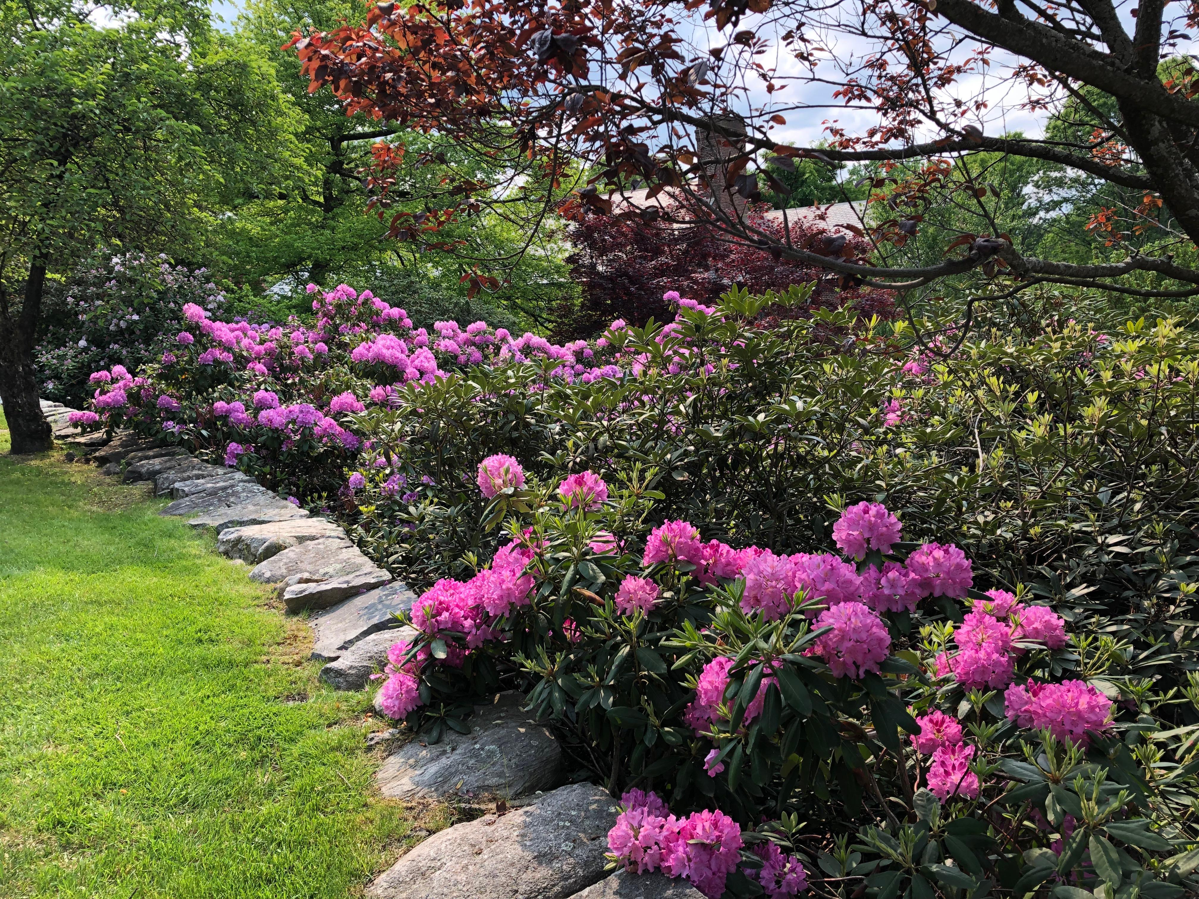 053119-Rhododendrons-Nashawtuck-Hill