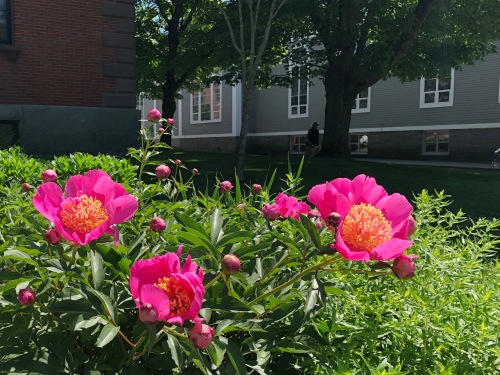 060819-.town-hall-peonies