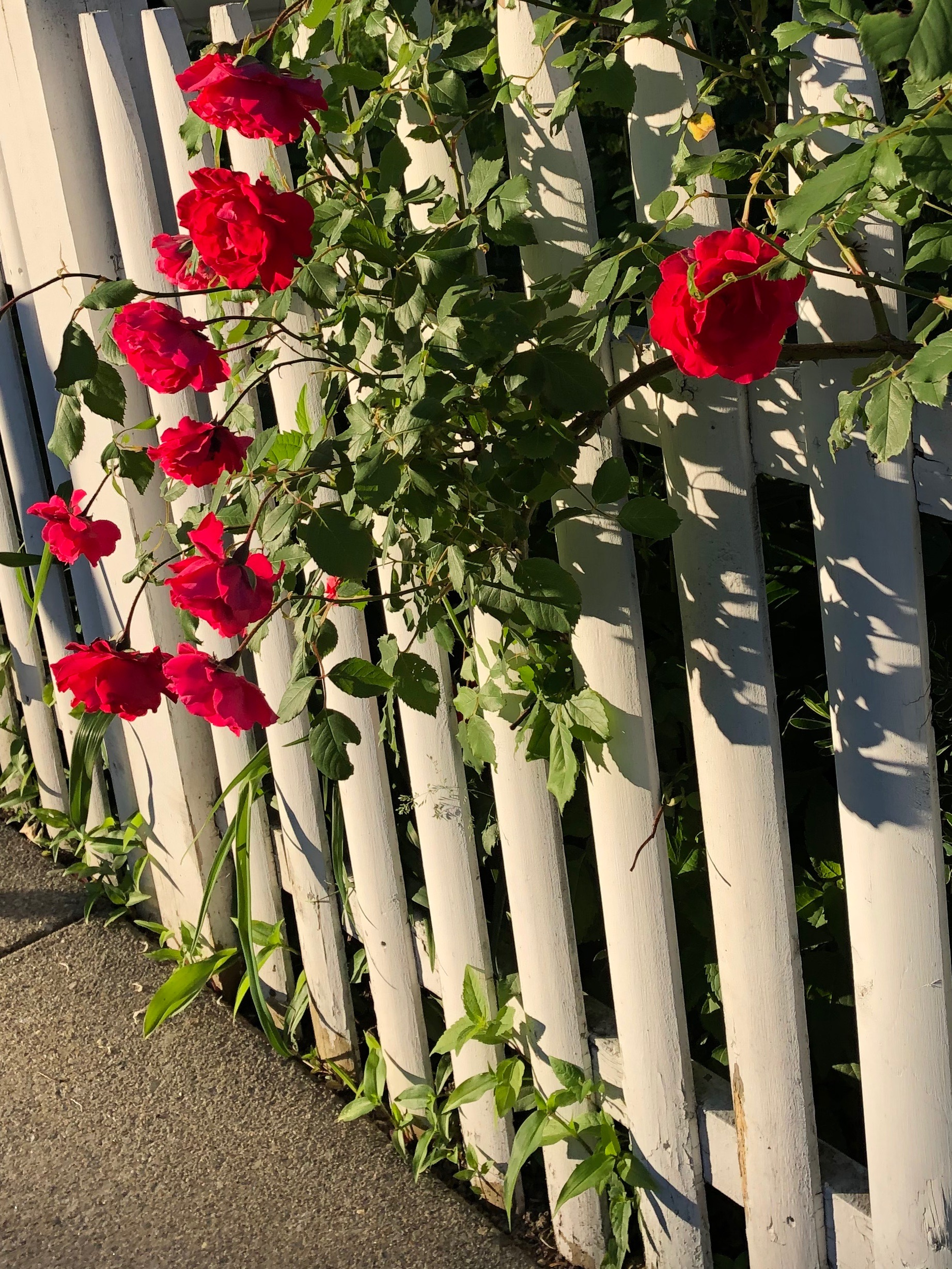 061219-roses-at-end-of-day-Thoreau-Street