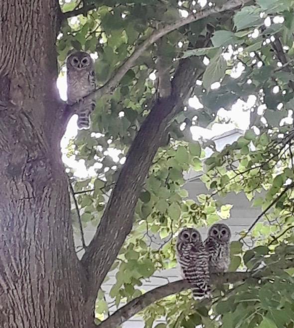 061719-owl-babies-.Wisconsin