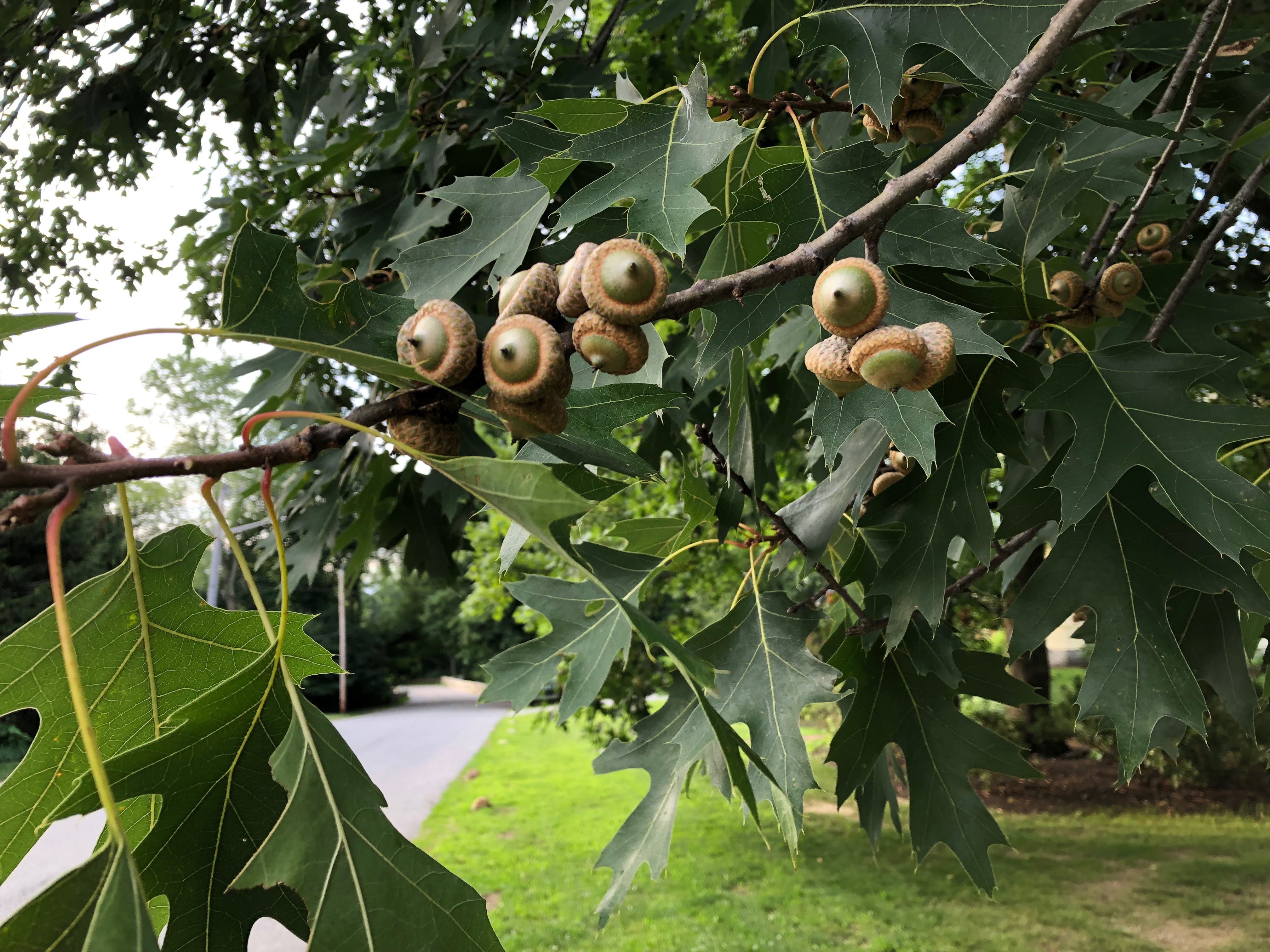 071519-acorns-in-July