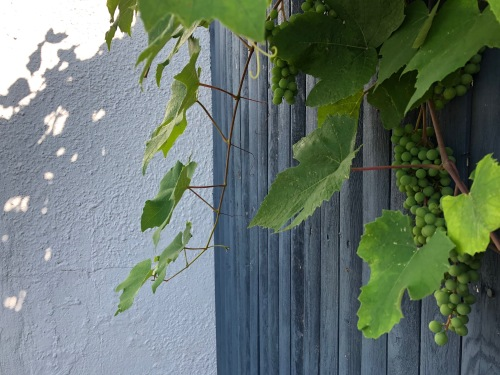 071519-grapes-ConcordMA
