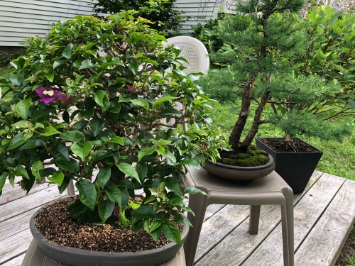 071619-Doug-Baker-bonsai-deck