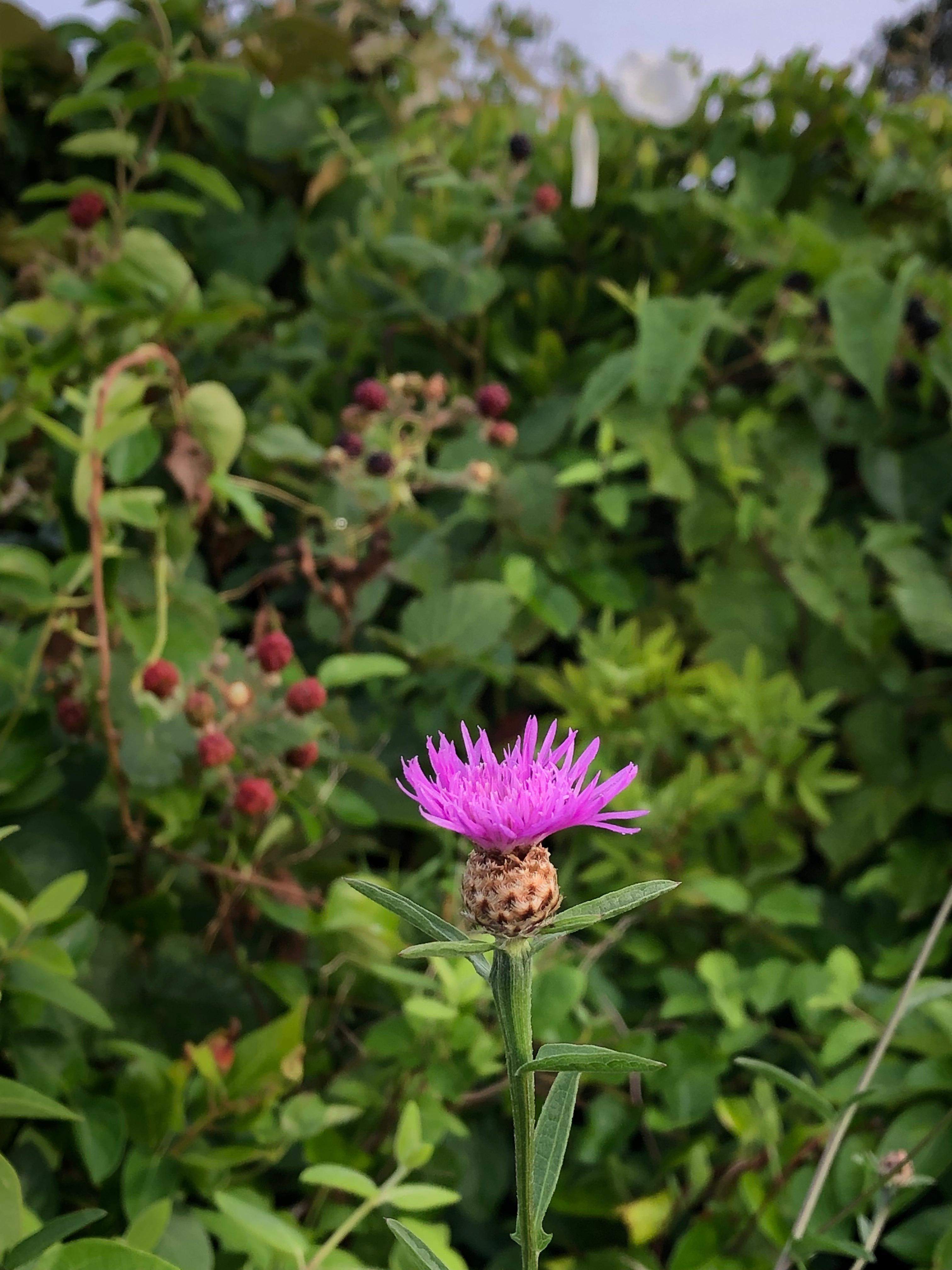 080119-Blazing-Star-wildflower
