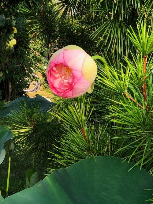 080419-lotus-opening