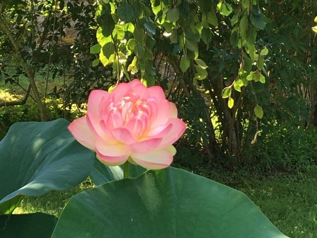 081419-SandraMKelly-open-lotus