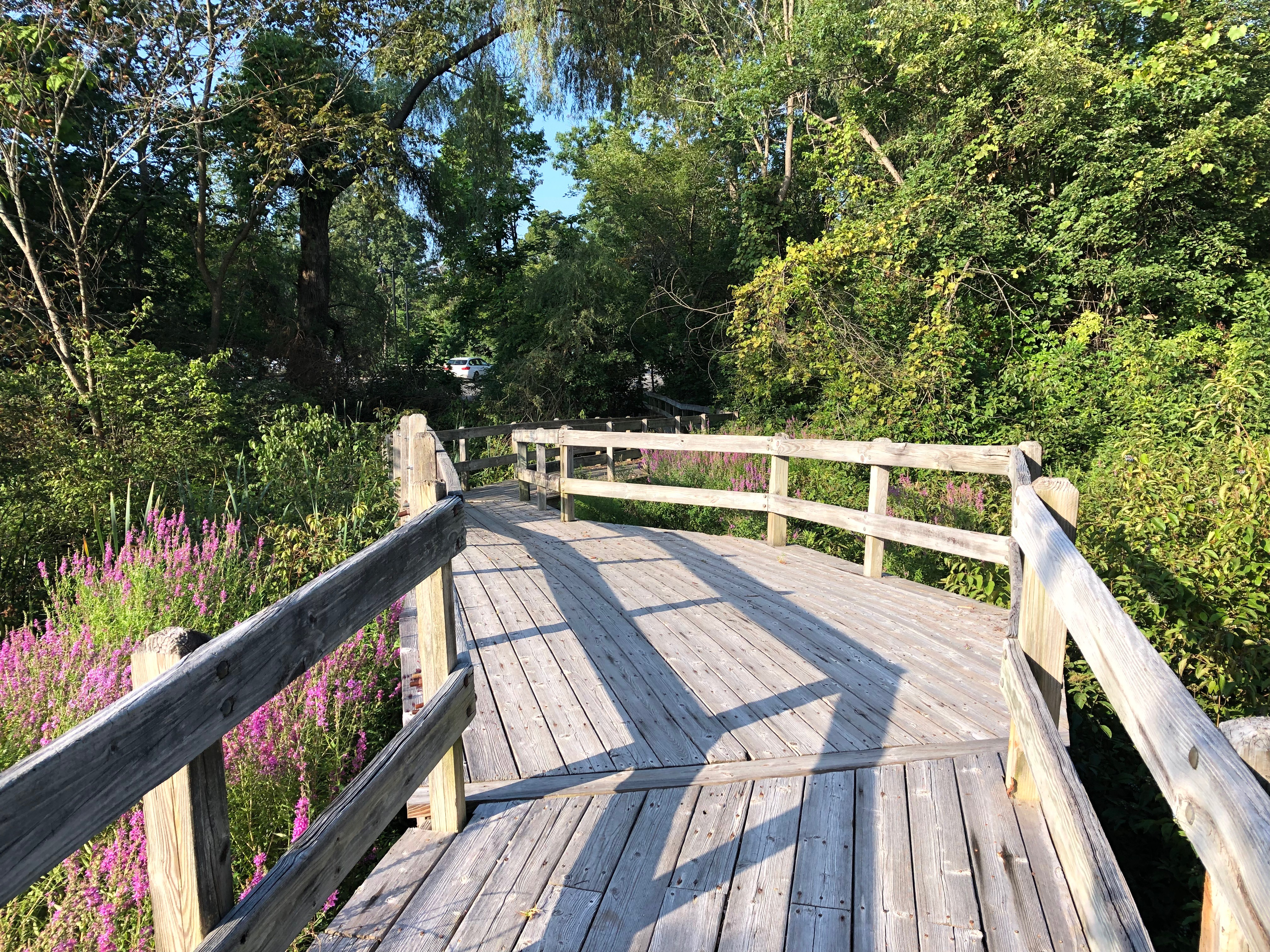 081519-purple-loosestrife-on-footbridge