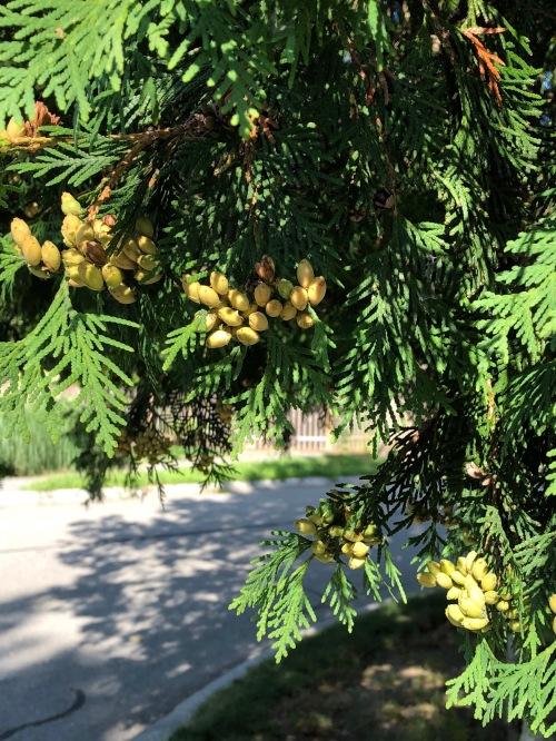 081619-pinecones-ConcordMA