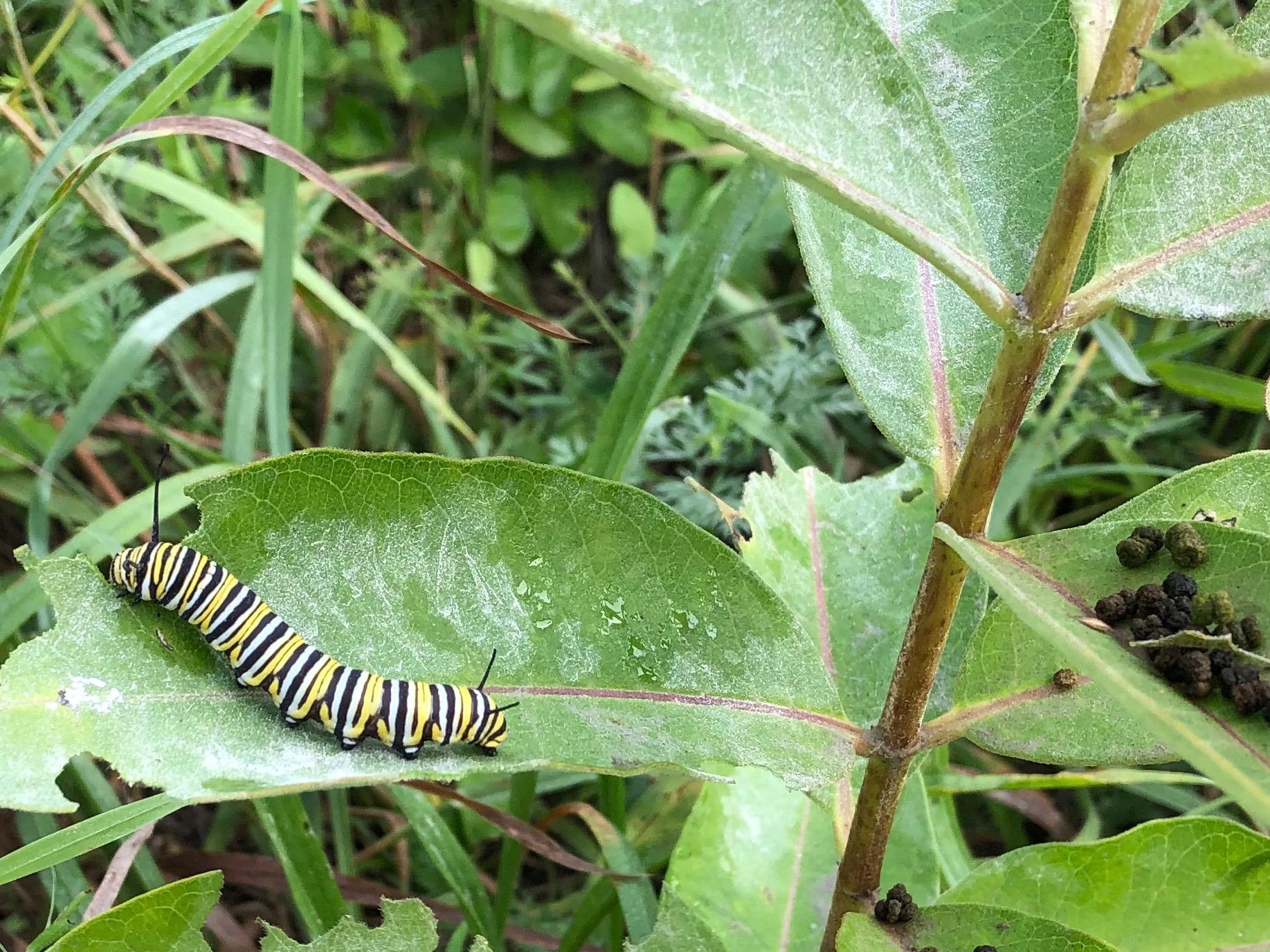 082119-Monarch-caterpillar