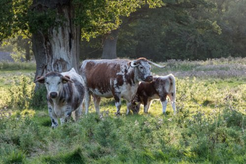 rewilding_longhorn-cattle-in-knepp-repton-park-landscape