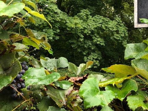 091219-Concord-Grapes