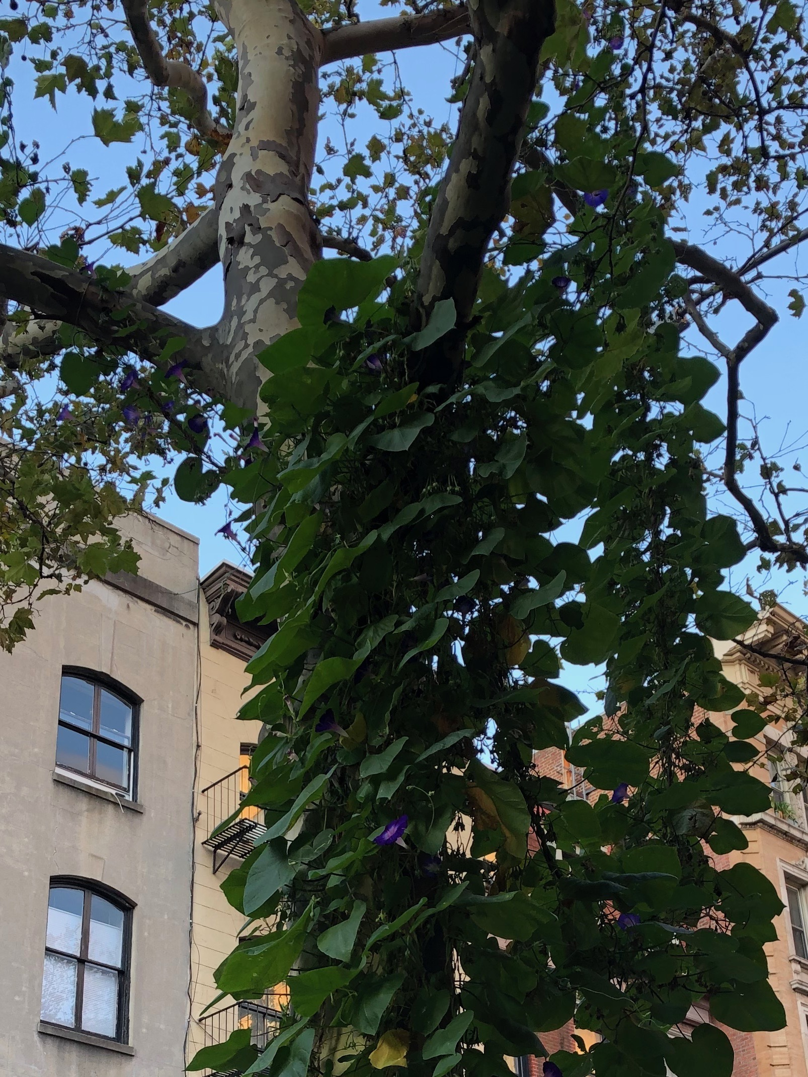 092619-vine-on-tree-NYC