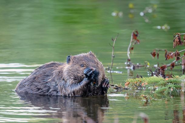 beaver-beaver