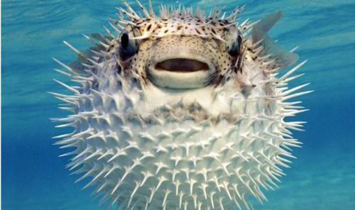 pufferfish-deadly-family-supper-526942