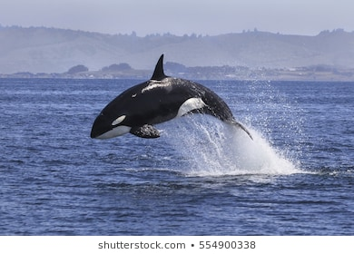 killer-whale-orcinus-orca-260nw-554900338