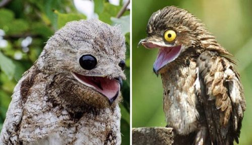 the-great-potoo-and-the-common-potoo-768x444-1