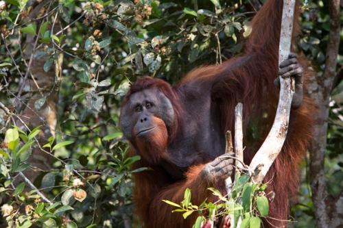 webb-orangutan