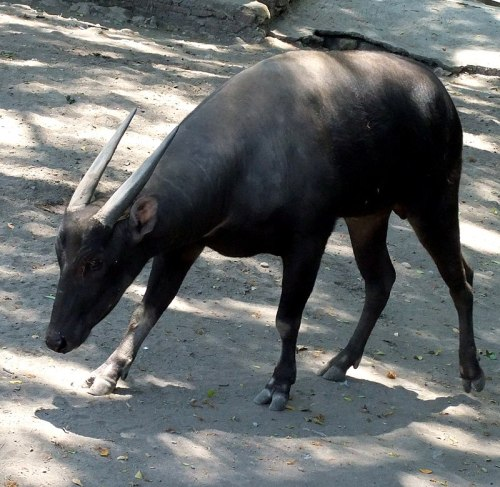 800px-anoa_bubalus_depressicornis_surabaya_zoo