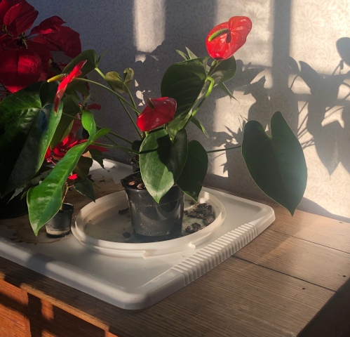 050220-anthurium-red-leaves-shadow