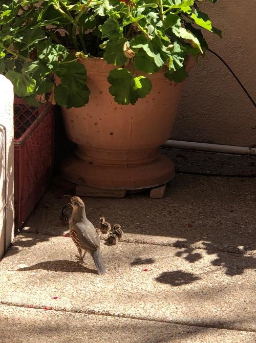 050320-baby-quail-photographer-Susan