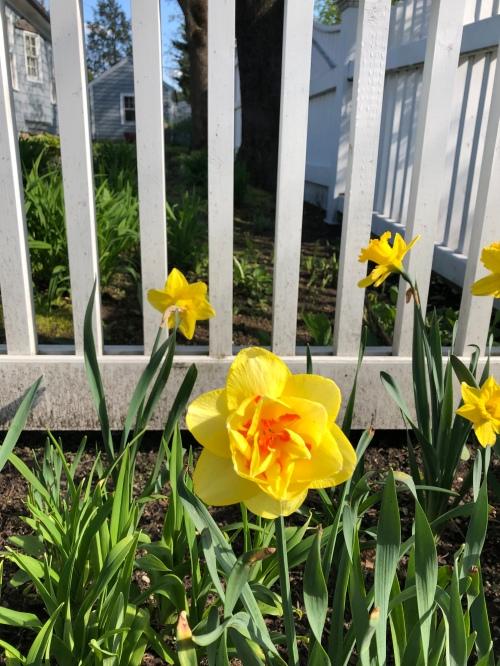 050320-double-daffodil
