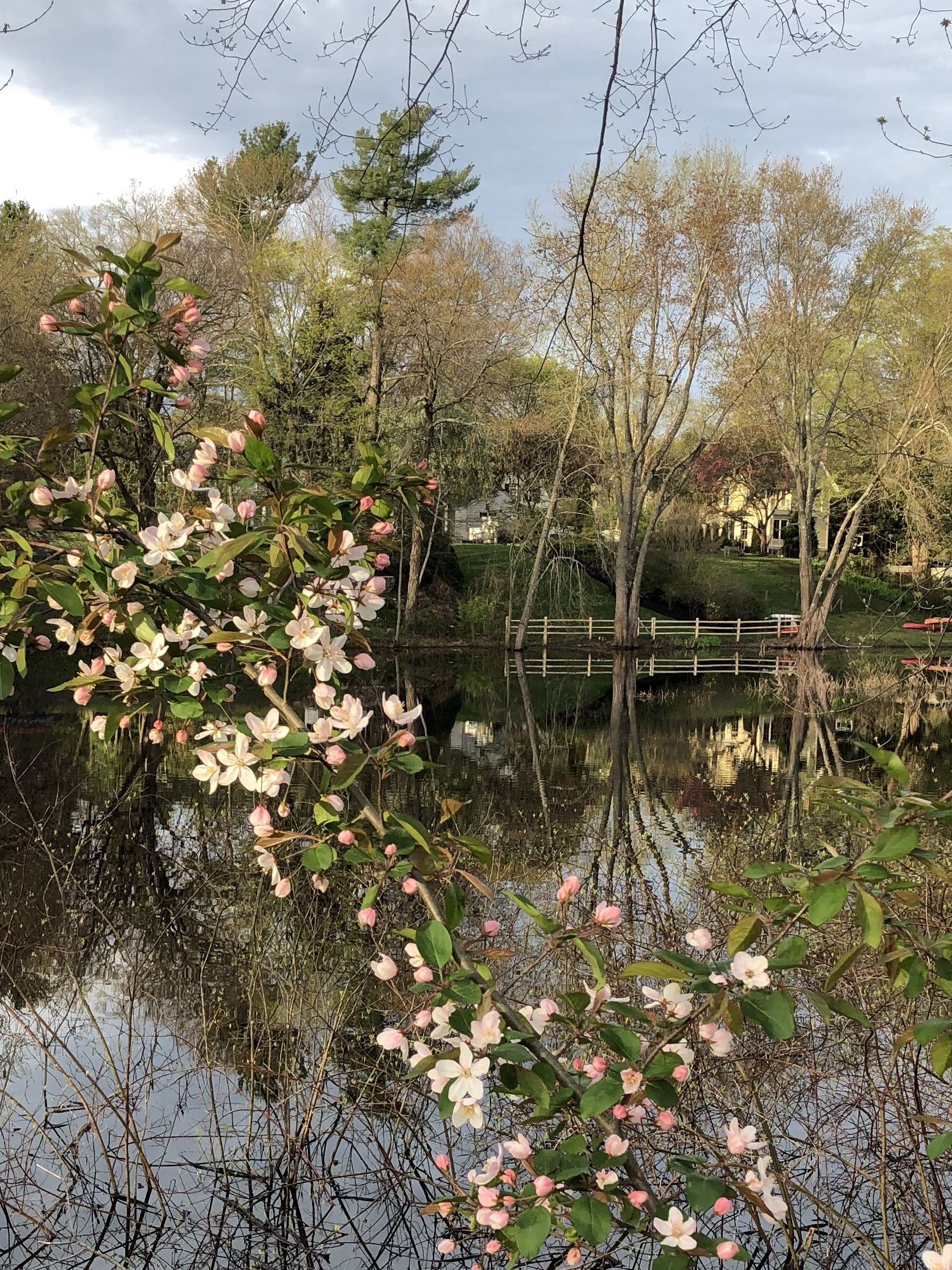050420-apple-blossoms-by-Sudbury-River