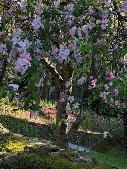 050720-flowering-tree-ConcordMA