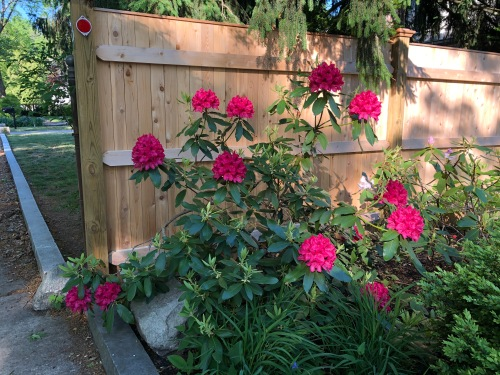 060420-dark-pink-rhodies