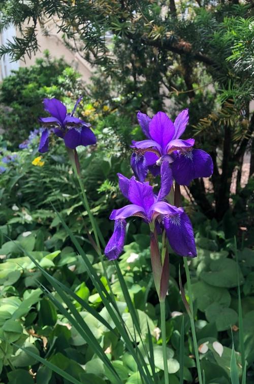 060520-iris-and-yew