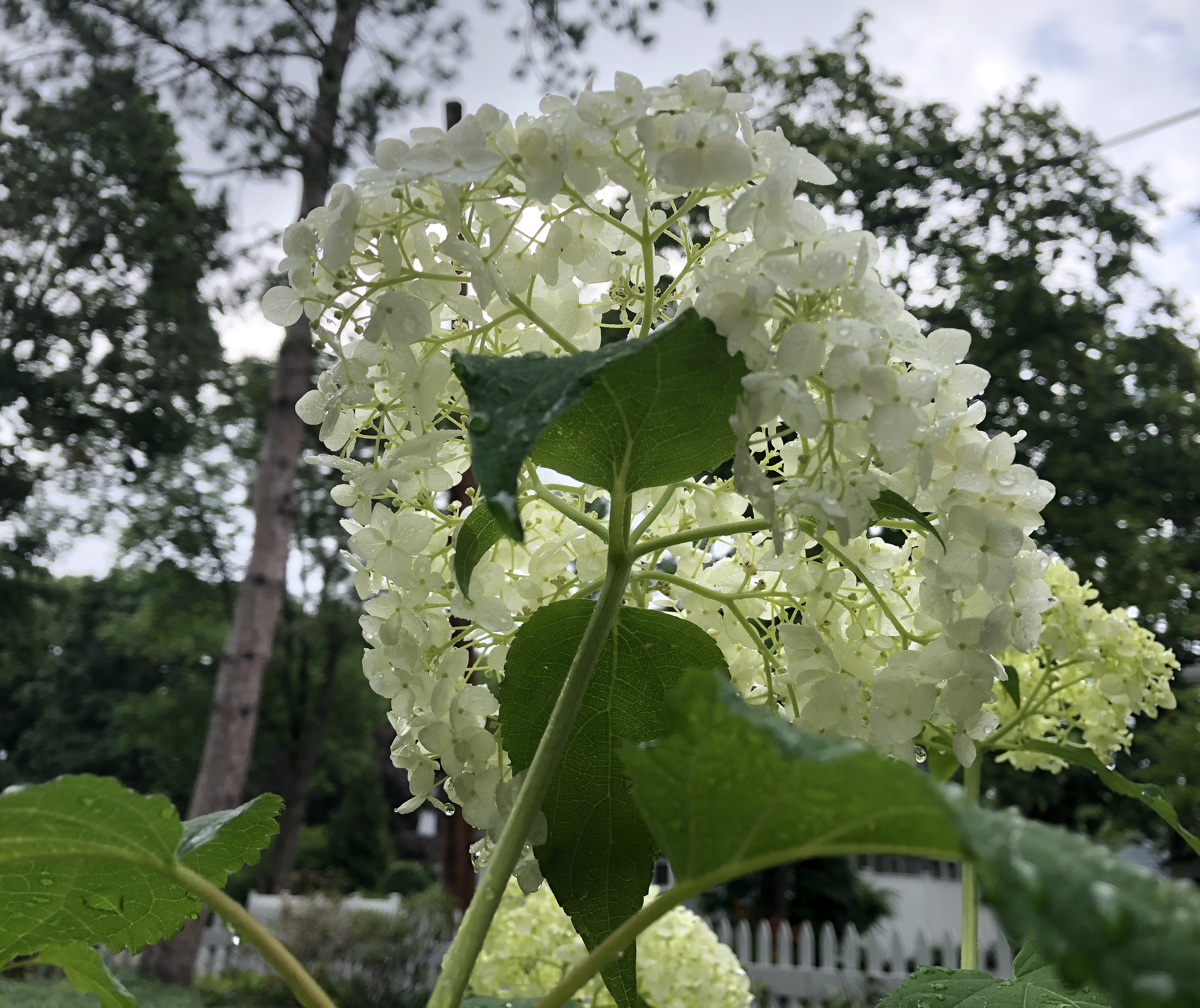 070620-under-white-hydrangea