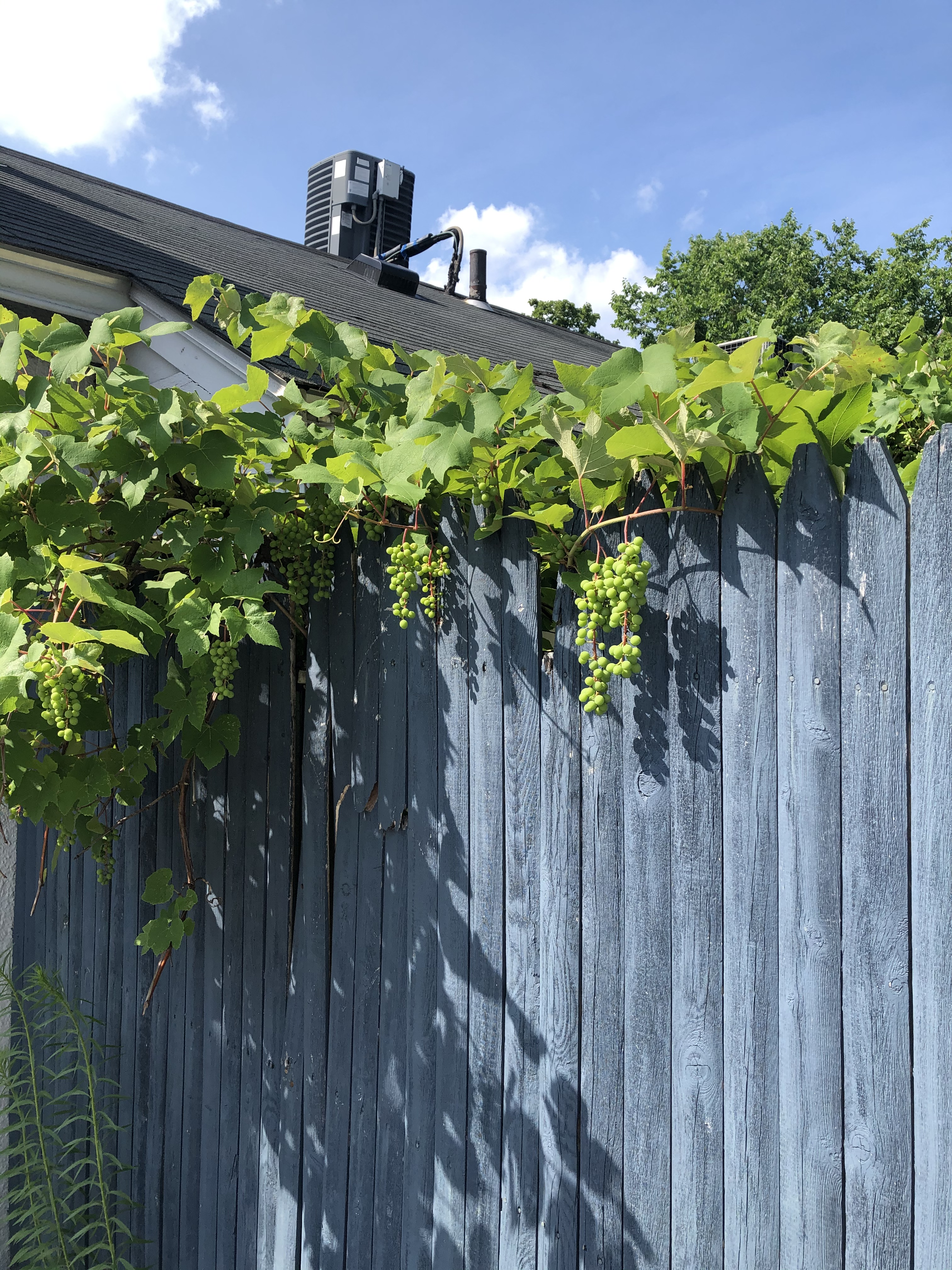 070920-grapes-on-gray-fence