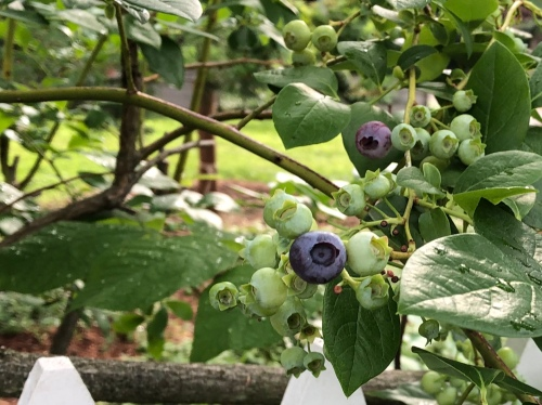 071120-blueberries-ConcordMA