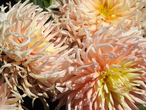 071620-Melita-Madrid-garden-pink-dahlia copy